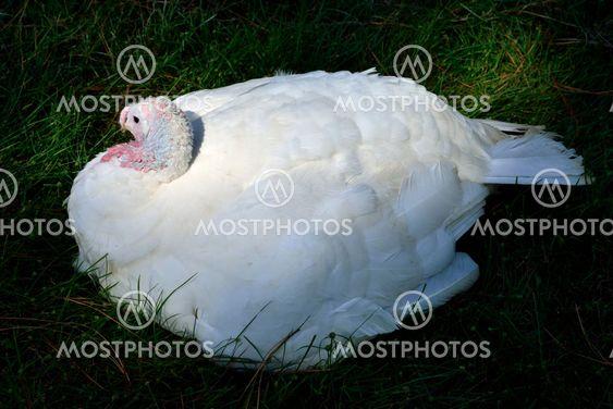 White Turkey