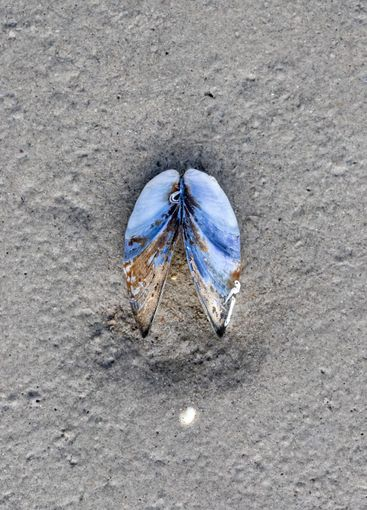 Close up of mussel shell lying in the sand on a beach.