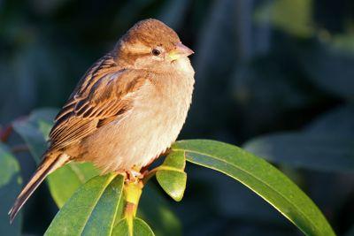 Eurasian tree sparrow.