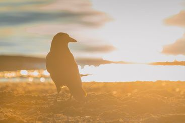 Black Crow standing on the sand on the beach with strong...
