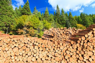 Pile of Pine tree logs.