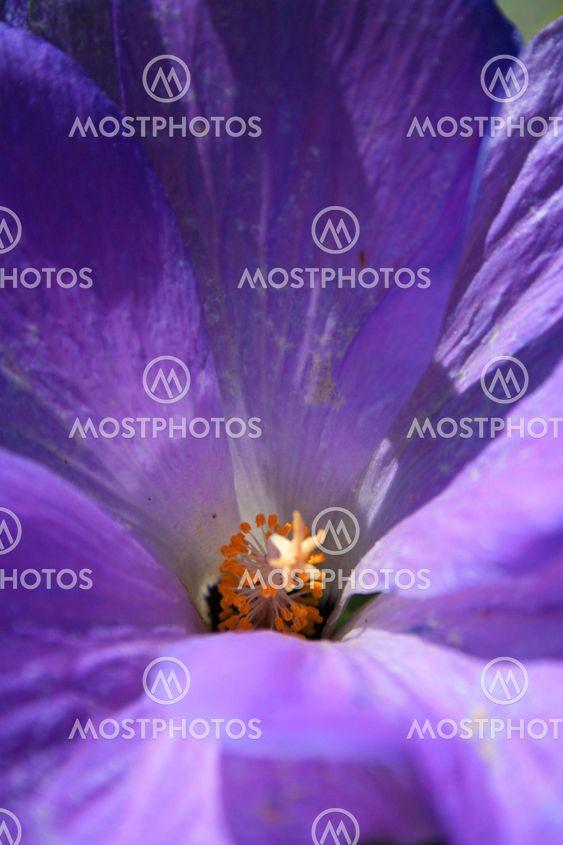 Lila Wild Flower