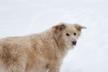 Fluffy Dog in the Snow