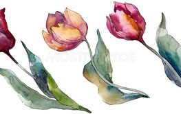 Tulip floral botanical flowers. Watercolor background...