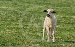 Lambs and sheep on a green field in a meadow on sunny day