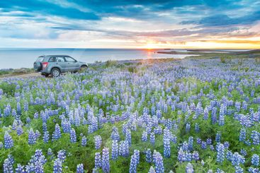 A 4WD car parked in a lupins field next to the atlantic...
