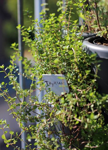 Thyme shrub in a pot with a sign outside on the balcony
