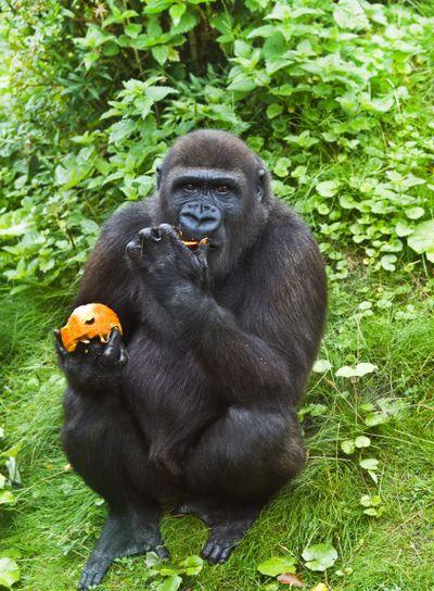 Young gorilla eating fruit