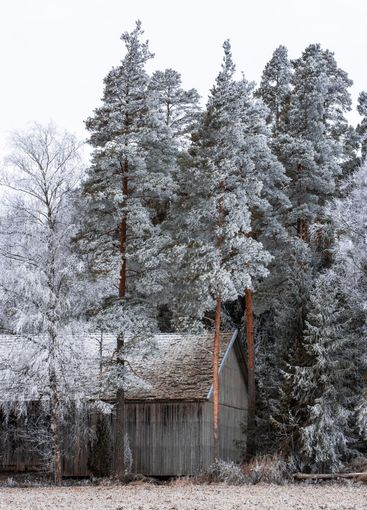 Trees covered by hoar frost