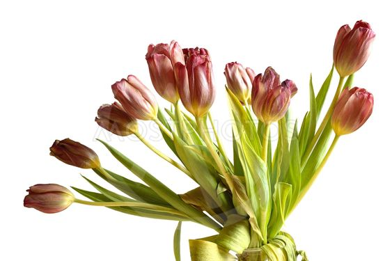 Faded bunch tulips flowers isolated