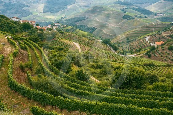 Douro Valley, Portugal. Top view of the vineyards are on...