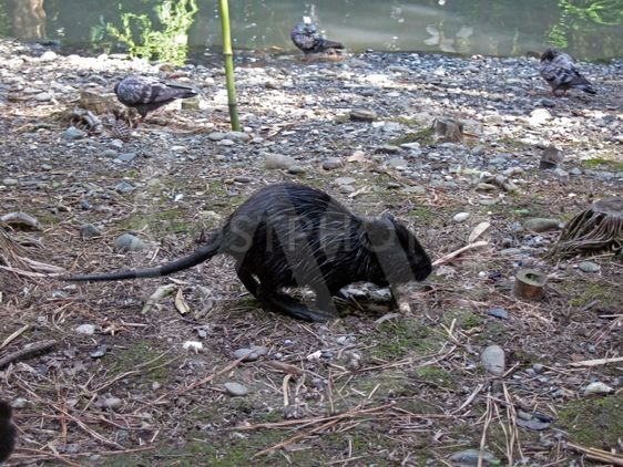 Black water rat