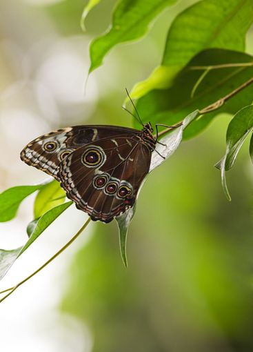 Blue morpho tropical butterfly