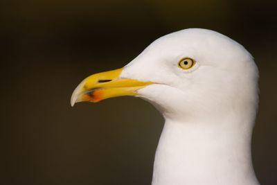 Portrait of Herring gull in winter