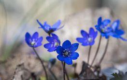 Grupp med blommande blåsippor i skogen