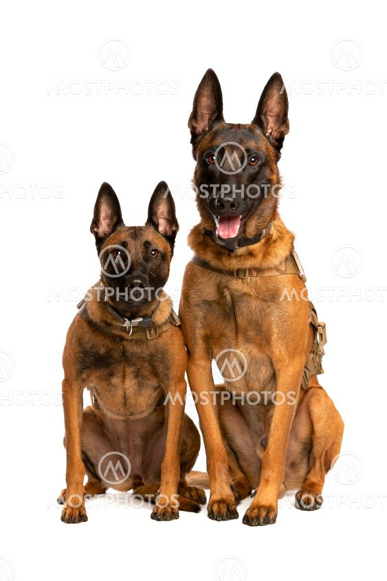 Two Belgian Malinois dogs