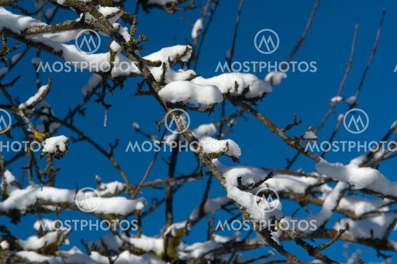 Snow on fruit tree branches