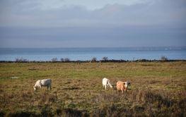 Betande kor i en kustnära betesmark på Öland