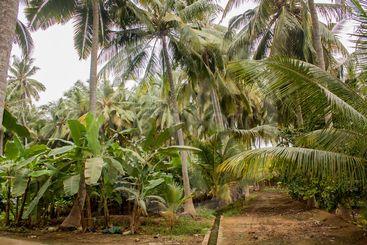 Coconut palms and banana trees in Salalah, Oman
