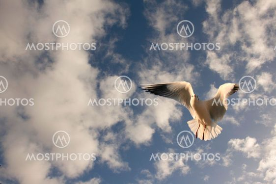 Seagull in flight against a cloudy blue sky