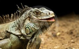 Green Iguana reptile in nature