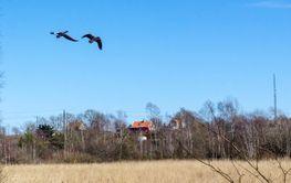 Grågäss flyger över Fågelsjön i Degerhamn på Öland
