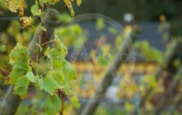autumnal leaves in a french vineyard landscape