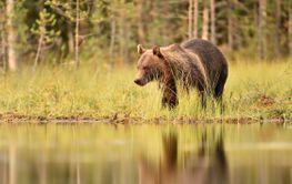 European brown bear in bog at summer