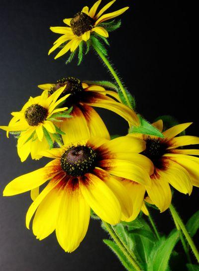 Yellow Daisies (Black-eyed Susan)