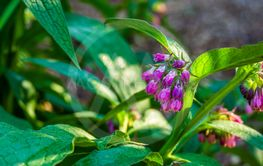 closeup of the bell shaped flowers of a common comfrey...