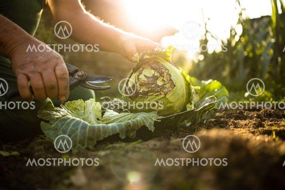 Senior gardener gardening in his permaculture garden -...