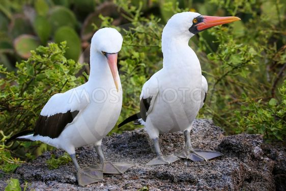 Nazca Boobies on the nest, Genovesa Island, Galapagos...