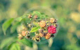 Raspberries growing organic berries closeup in fruit garden