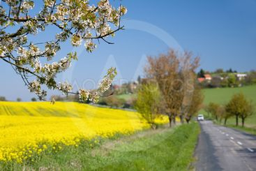 Asphalt road near a field with beautiful rapeseed flowers...
