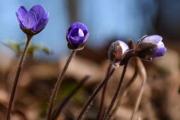 Snart blommande blåsippor i skogen