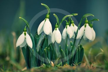 Snowdrops spring flowers. Beautifully blooming in the...