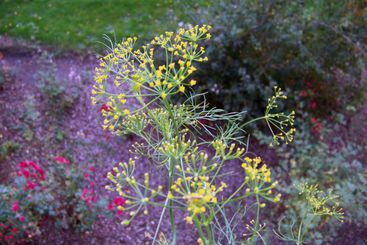 Yellow flowers of fennel, grass and bush on a background