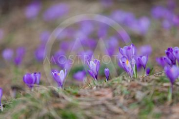 Purple crocus flowers in the forest