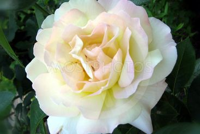 White Rose close-up.
