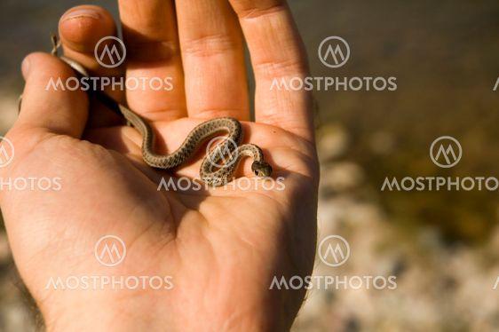 Strumpebandsorden Snake