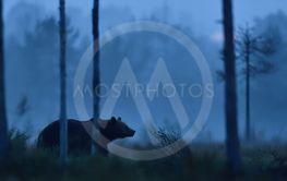 brown bear walking at nigh in the misty bog
