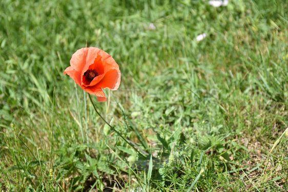 Blommande vallmo i grönt gräs
