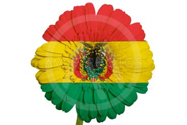 gerbera daisy flower in colors national flag of bolivia...