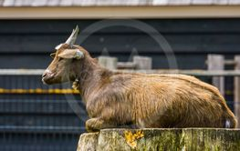 closeup of a brown west african dwarf goat sitting on a...