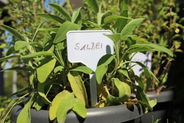 Close-up of a sage plant on the balcony with labeled sign