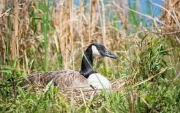 Nesting Canadian Goose sitting on her eggs