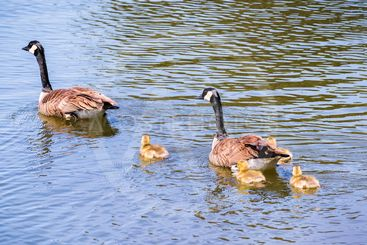 Canada Goose (Branta canadensis) family swimming on a...