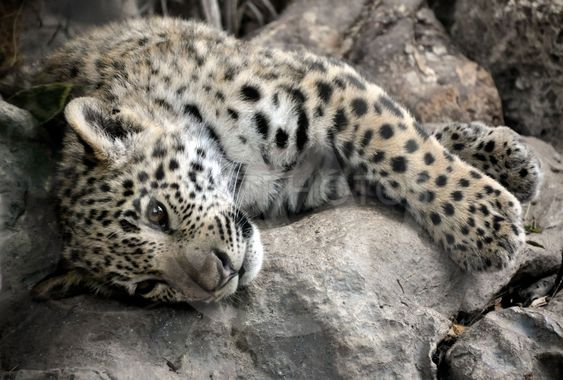 Søvnig unge jaguar