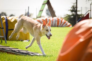 Dog is running in agility park on dog walk.