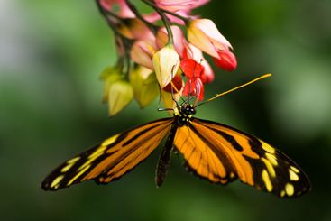 Tiger heliconian tropical butterfly